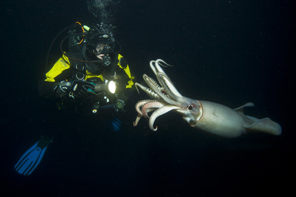 The Humboldt Squid