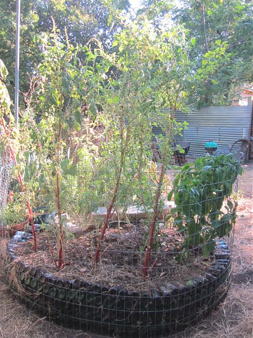 Amaranth greens