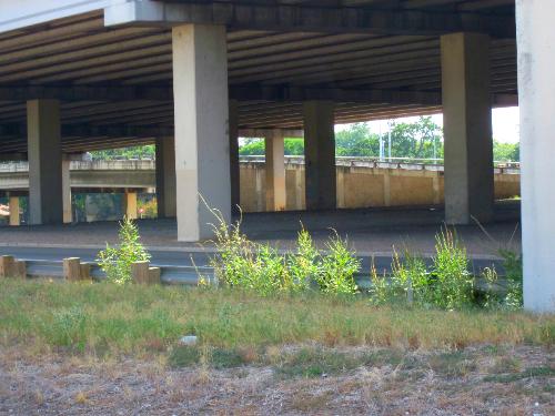 Highway pigweed