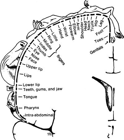 The Sensory Homunculus